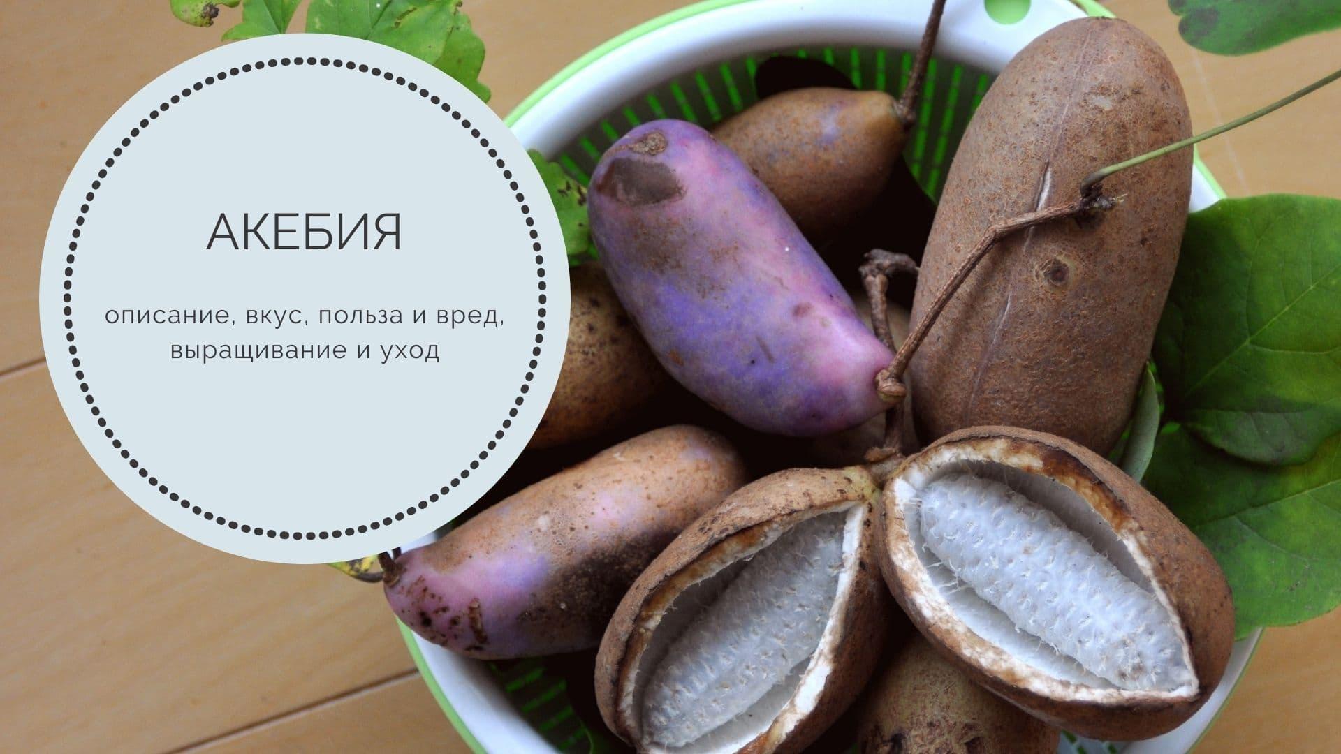 Акебия: описание, вкус, польза и вред, выращивание и уход