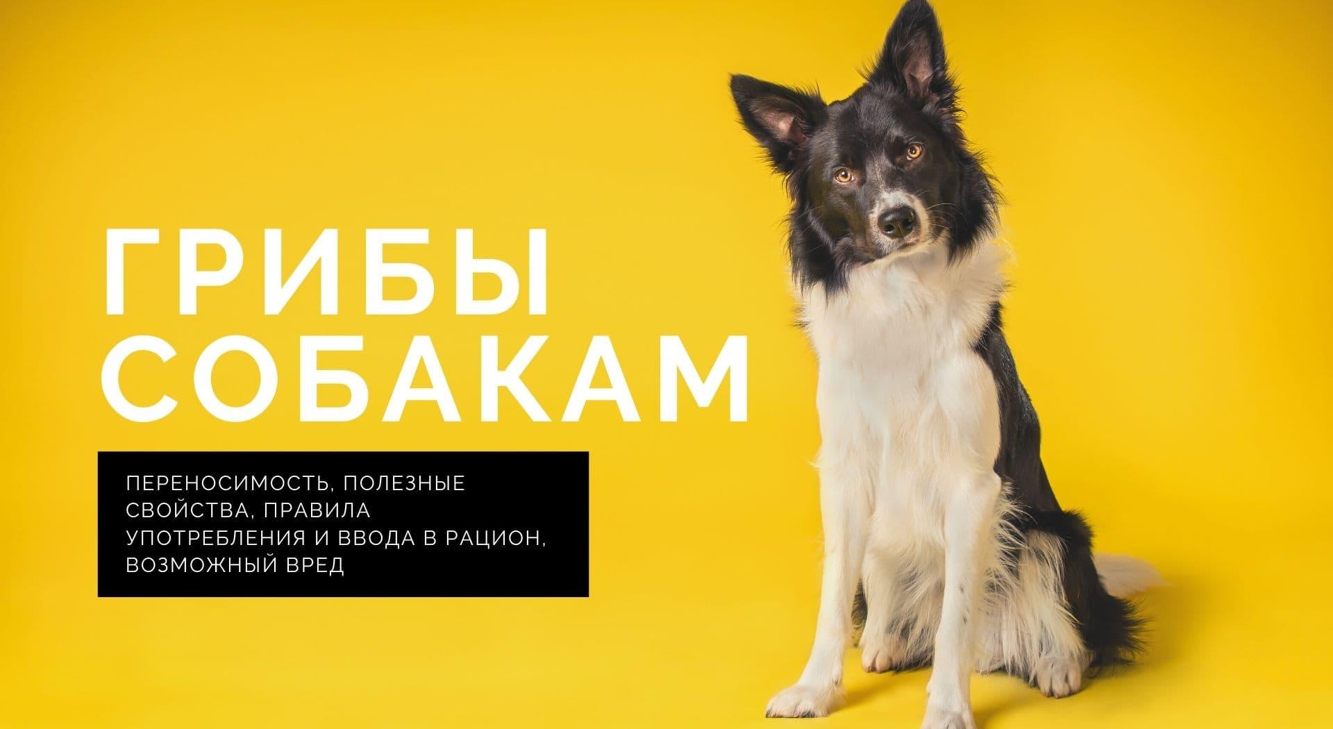 Грибы собакам: переносимость, полезные свойства, правила употребления и ввода в рацион, возможный вред
