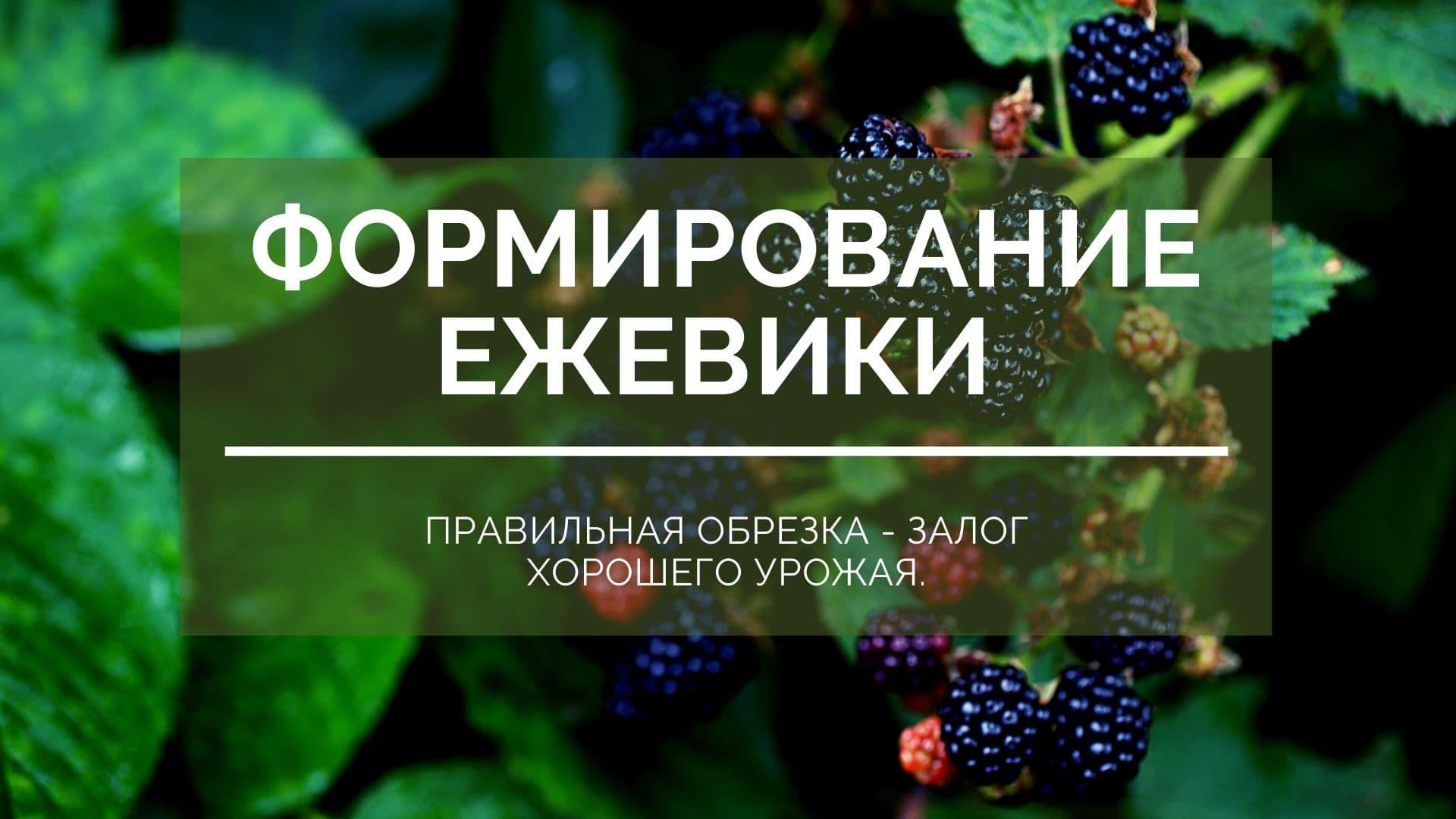 Формировка ежевики: правильная обрезка - залог хорошего урожая.