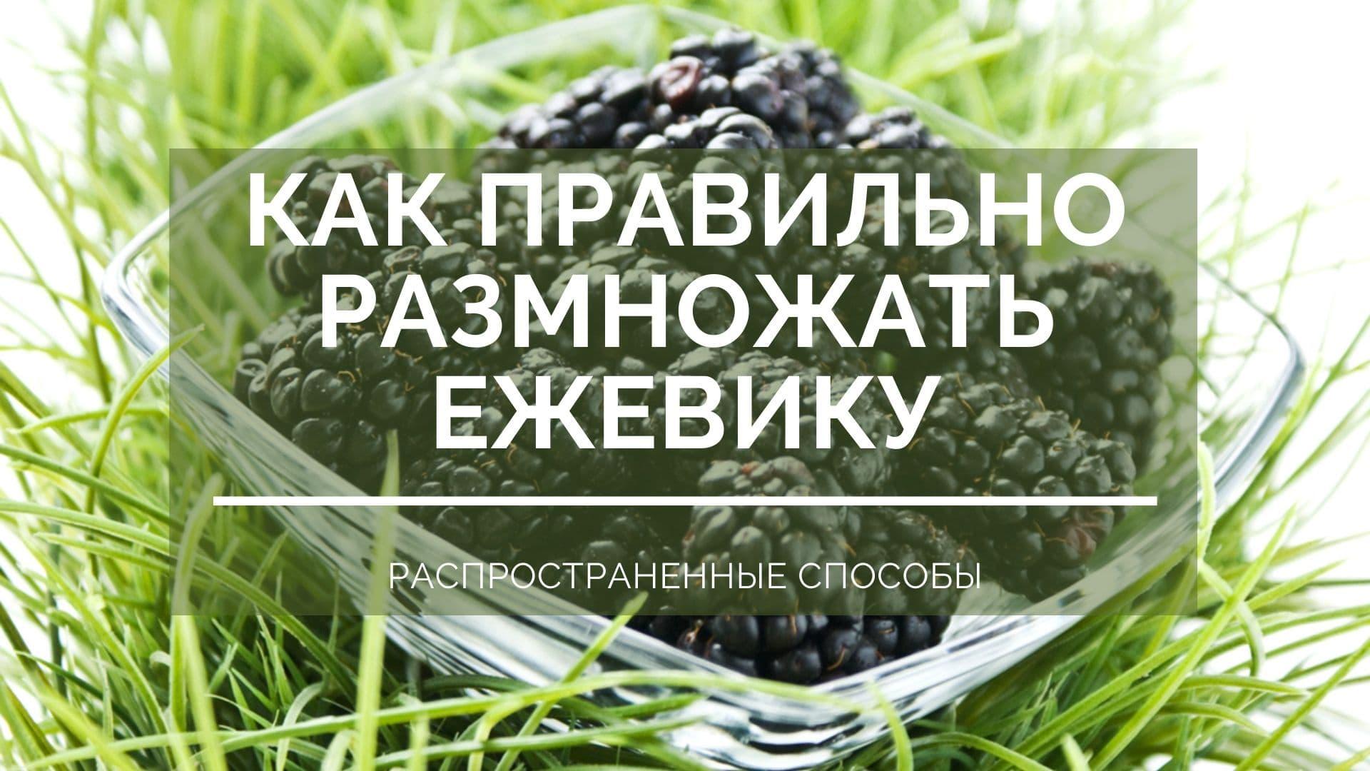 Как правильно размножать ежевику: распространенные способы