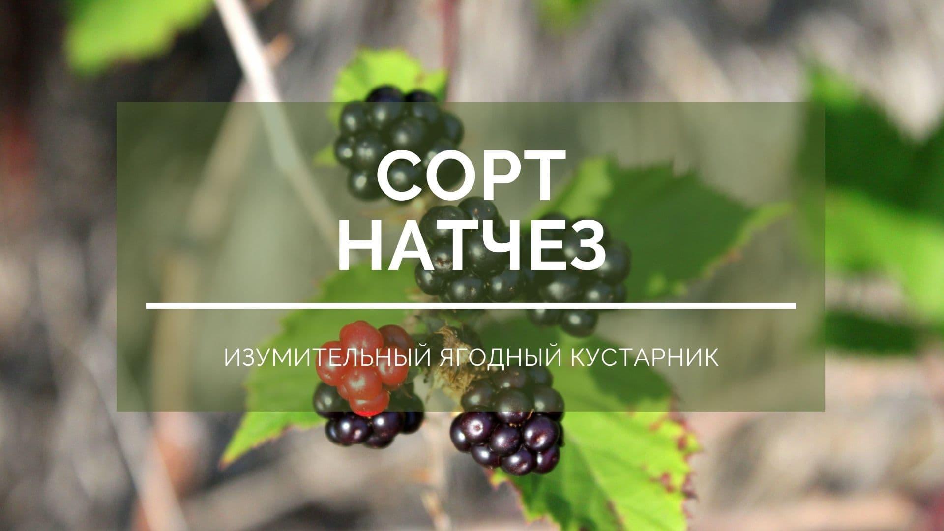 Сорт Натчез – изумительный ягодный кустарник